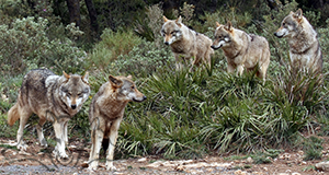 Lobo Park - guided wolf tours, Antequera