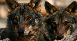 A personal introduction to some of our wolves at the park