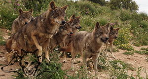 Come and enjoy one of our in-depth seminars on wolves and they're behaviours