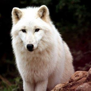 Wolfs-Patenschaften