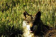 Diego Adopt a wolf lobo park