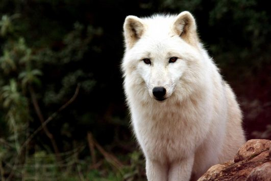 Adopt-a-wolf