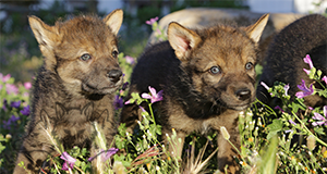 Read more aout our adopt a wolf program at the park