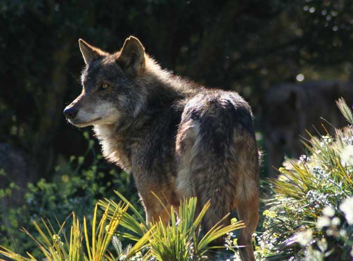Buchen Sie Ihre geführte Wolf Tour in Antequera Malaga online hier
